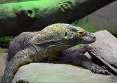 picture of komodo dragon  - A shot of a komodo dragon relaxing - JPG