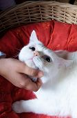 Tender Touch Of A Kid's Hand To A White Cat's Head