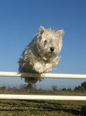 picture of west highland white terrier  - jumping West Highland White Terrier in a training of agility