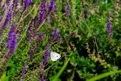 picture of lavender plant  - A small white Cabbage Butterfly on a purple lavender plant in a patch of lavender bushes