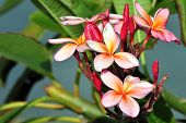 pic of plumeria flower  - Beautiful and fragrant frangipani flowers on a tropical island which are also known as  - JPG
