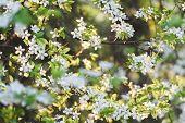 Fruit tree in spring bloom background