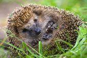 Hedgehog Curled  And Sleeps Ant Awakes Him