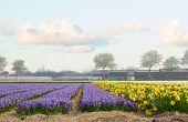 Dutch spring hyacinth flowers field
