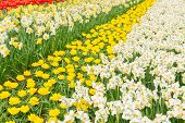 holland tulips and daffodils field