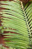 Raindrops On The Leaves Of Palm