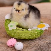 Little Chicken In The Nest.  Easter