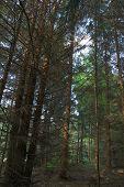 Spruce Dark Forest