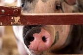 Pink Pig Snout Nose