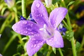 purple Campanula flowers
