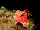 foto of scorpion  - Close up of a mediterranean scorpion fish Scorpaena notata. Scorpion fish is resting on the sea rocks. ** Note: Soft Focus at 100%, best at smaller sizes - JPG