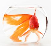 stock photo of goldfish  - Goldfish in small fish bowl on a white background - JPG