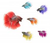 stock photo of siamese  - a group of different coloured siamese fighting fish confronting bigger one - JPG