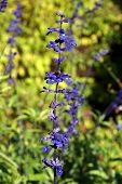 picture of clary  - A close up of a purple Salvia Viridis  - JPG