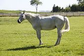 picture of pastures  - a white old Holsteiner mare standing on a pasture - JPG