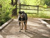 stock photo of herding dog  - a dog out in nature in a thunderstorm with rain falling on her - JPG