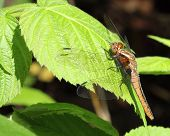 picture of dragonflies  - Brown dragonfly resting in forest on bright green leaf in sunshine.