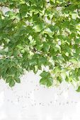 stock photo of ivy  - ivy leaves on wall - JPG