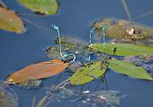 pic of mating  - Dragonflies mating - JPG