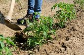 foto of hoe  - Manual processing of the ground with hoe in a tomatoes cultivation - JPG