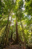 picture of rainforest  - Wide angle view from below of the majestic tall trees with lush green canopy of the dense lowland rainforest in Lambir Hills National Park Borneo Malaysia - JPG