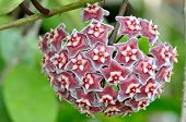 Hoya ovalifolia flower