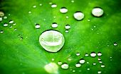 picture of raindrops  - Raindrops on a lotus leaf - JPG