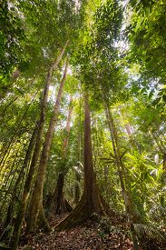 picture of canopy  - Wide angle view from below of the majestic tall trees with lush green canopy of the dense lowland rainforest in Lambir Hills National Park Borneo Malaysia - JPG