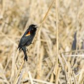 Red Wing Blackbird Singing