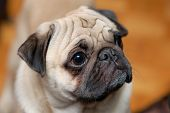 stock photo of gotcha  - Portrait of a little pug with blurred background - JPG