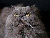 Head of big fat persian cat on dark background
