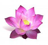 Flor de loto rosa
