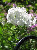 Beautiful White Phlox In Sunlight