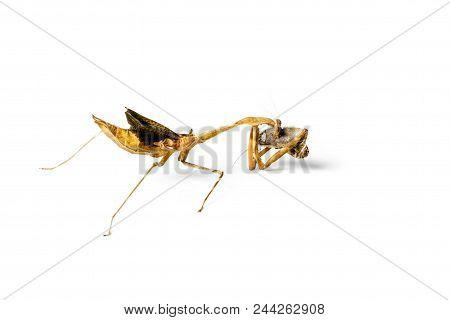 Praying Mantis And Cockroach Isolated