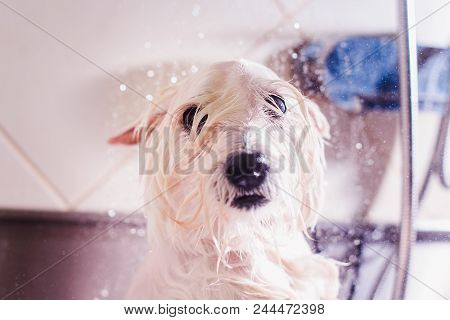 poster of Female Groomer Haircut West Highland White Terrier Dog In The Beauty Salon For Dogs. Advertising Of