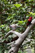Alexandrine Parakeet and Nicobar Pigeon