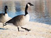 Goose, Goosestepping In Snow