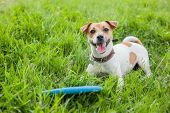 Dog Breed Jack Russell Terrier In A Brown Collar Lies On Green Grass With A Blue Frisbee poster