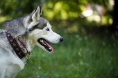 Portrait Of A Siberian Husky Close-up. Siberian Husky In The Summer. poster