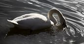Mute Swan On Ponds And Parks Of Cities Of Europe. Elegant Beautiful Bird Symbolizes Majesty And Grea poster