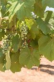 Young Green Grape On Vine At Local Winery In Grapevine, Texas, Usa poster