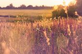 Purple Flowers In Golden Sunset Light. Purple Flowers Field In Sunset. Vintage Image Of Golden Field poster