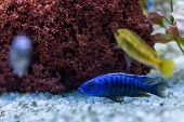 Cichlid Or Cichlidae Blue Tropical Fish In Aquarium. African Cichlid Endemic To Malawi In Blue Tropi poster