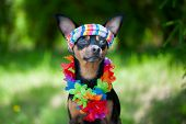 Dog, A Puppy In The Hawaiian Style . Tourist, Traveler., Fashion. Toy Terrier poster
