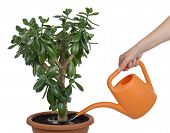 Hand Watering Dollar Plant Cutout
