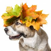 A dog in a maple wreath
