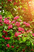 Summer Flower Landscape With Branch Of Summer Hawthorn Tree Pink Flowers, In Latin Crataegus Laeviga poster