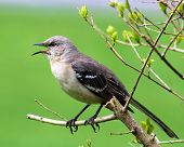 foto of mockingbird  - Mockingbird singing while perched on a branch with green background - JPG