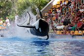 Leaping Killer Whale