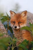 Red Fox Puppy In Thoughts